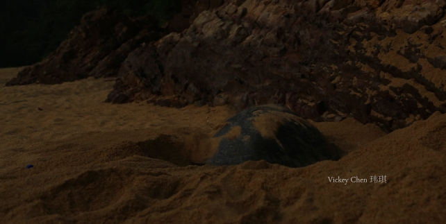 a female turtle preparing her nest, digging a pit