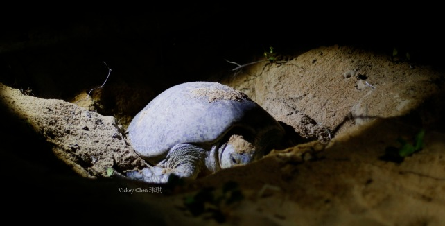 a female turtle covering her nest